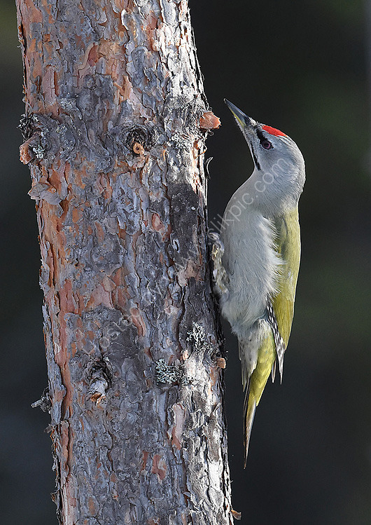 close up Grey Headed Woodpecker