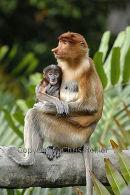 Proboscis Monkey Female & Baby