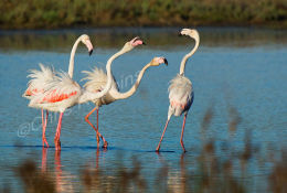 Flamingoes fighting