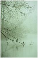 Cormorants in the Mist