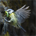 Blue Tit,Parus caeruleus,in flight with a caterpillar