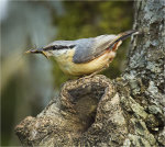Nuthatch with Mayflies to feed to it's young