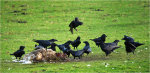 Ravens scavenging on a dead sheep