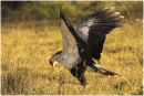 Secretary Bird Hunting Mice
