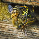 Honey Bee fighting back at a wasp raids the hive