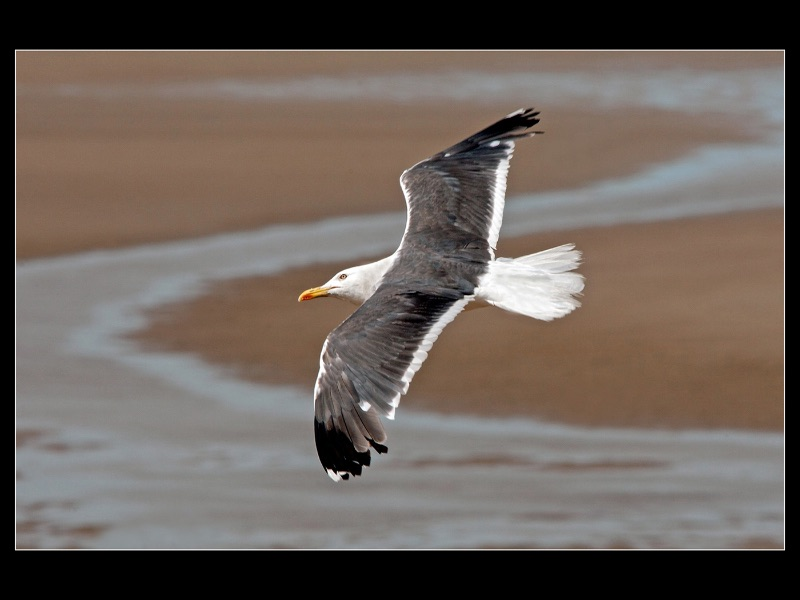 01 TOP Lesser Black Backed Gull by Robert Falconer