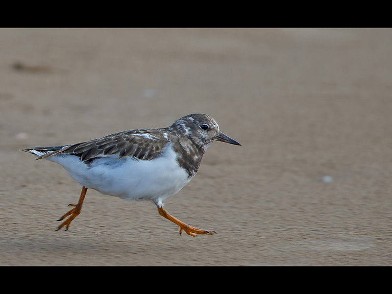 01 TOP Turnstone turn of speed by Mike Poole