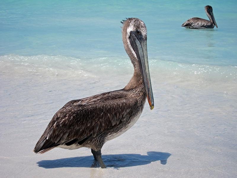 03 HC Brown Pelican by John Hopkinson