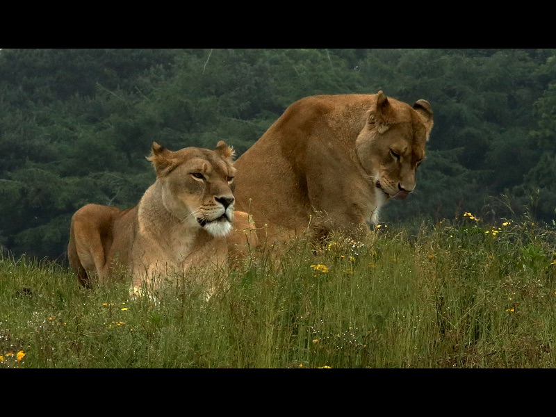 03 HC Two Lionesses by Brian Spray