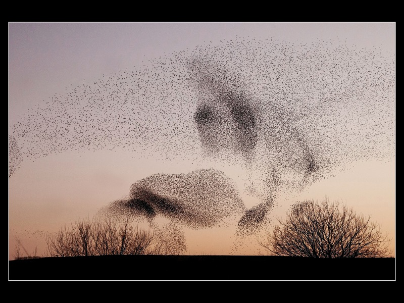 04 A Murmuration of Starlings by Robert Falconer