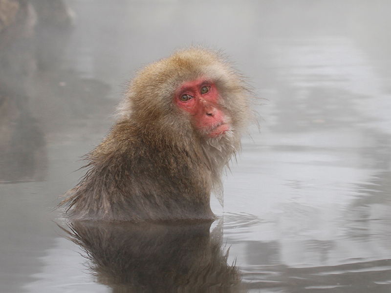 04 HC Japanese Macaque by Peter Jones