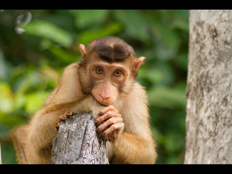 05 COM Pensive Macaque by Dave Laird