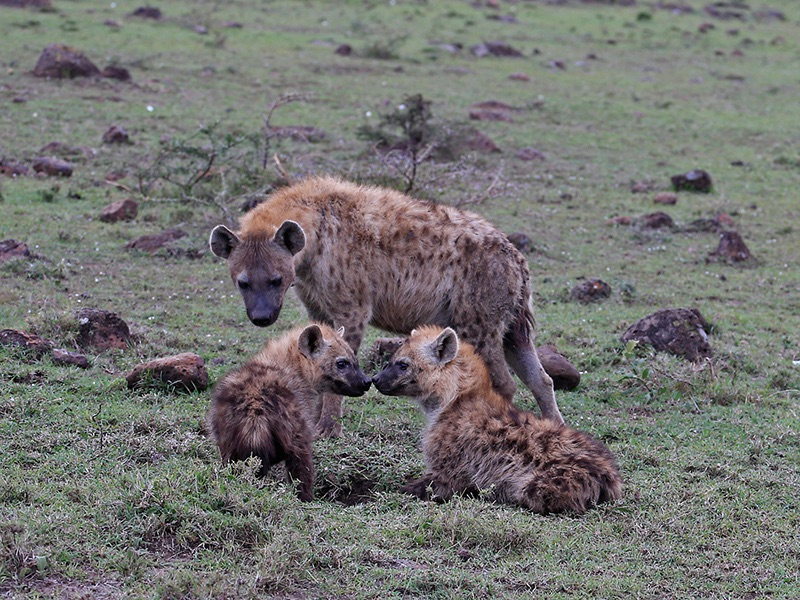 06 COM Hyena and Cubs by Peter Jones