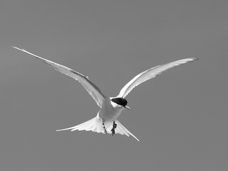 06 HC Arctic Tern In Flight 2 by Ron Trevis