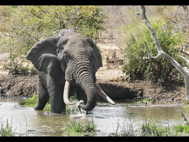 07 Com Male Elephant Drinking by Sue Wilson