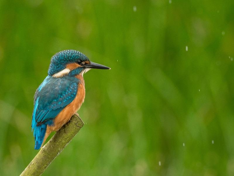 08 Com Kingfisher in the Rain by Neil Douglas