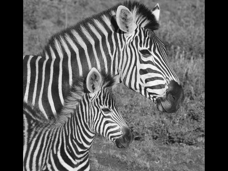 08 Com Zebra With Foal by Fran Muldoon