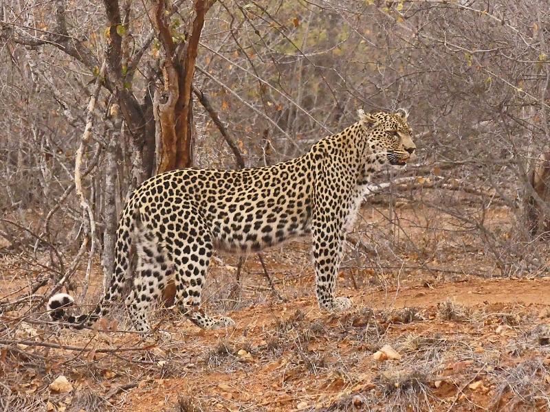 10 Com Male Leopard by Sue Wilson