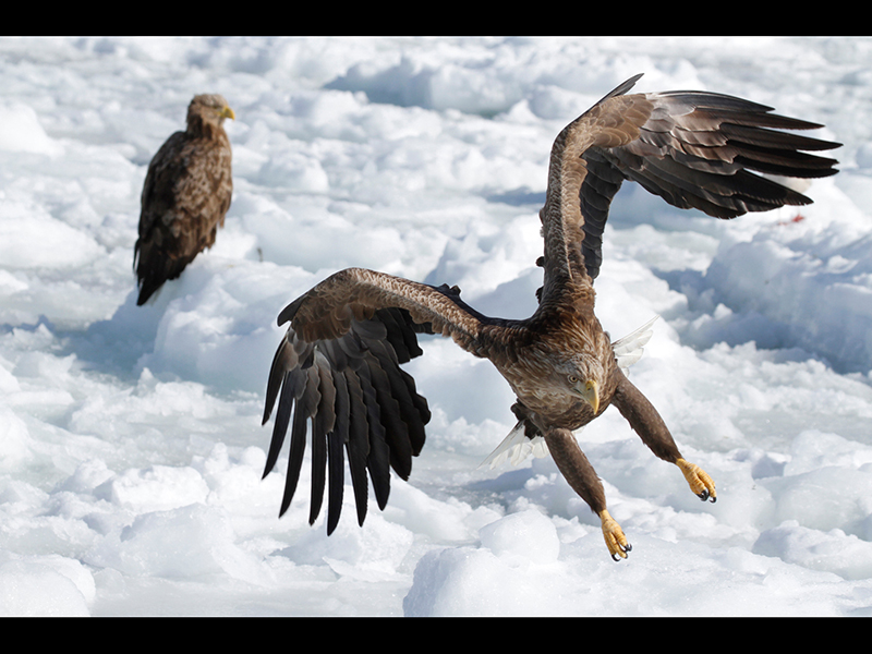 11 COM White-tailed Eagle Landing by Peter Jones