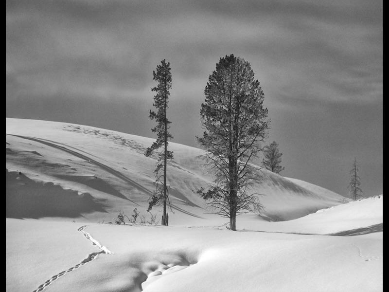 COM Yellowstone Trees by Sue Wilson