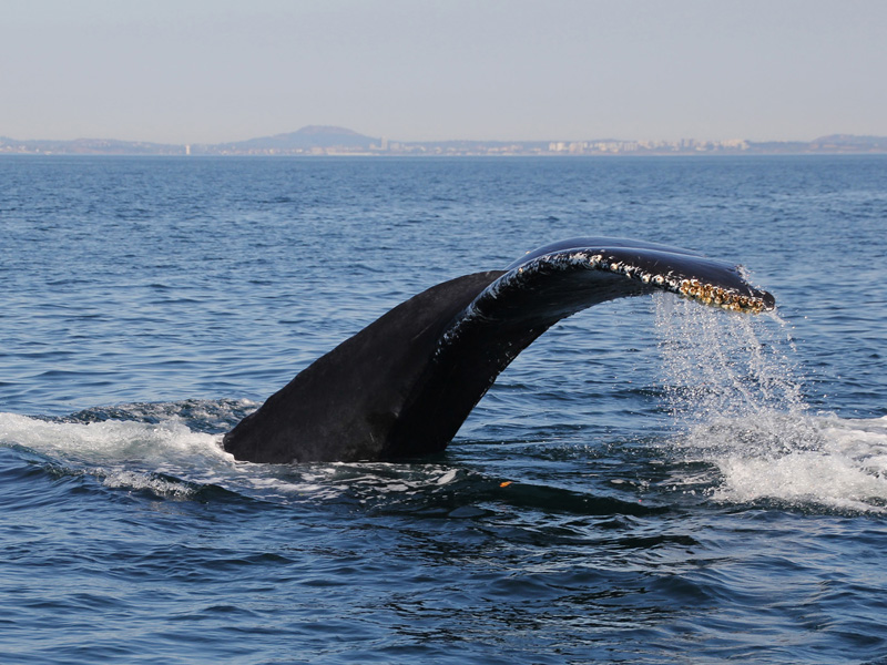 Humpback Whale by Colin Spibey
