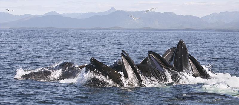 Award. Humpback Whales Bubble Feeding