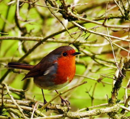 Baby Robin- waiting for mum