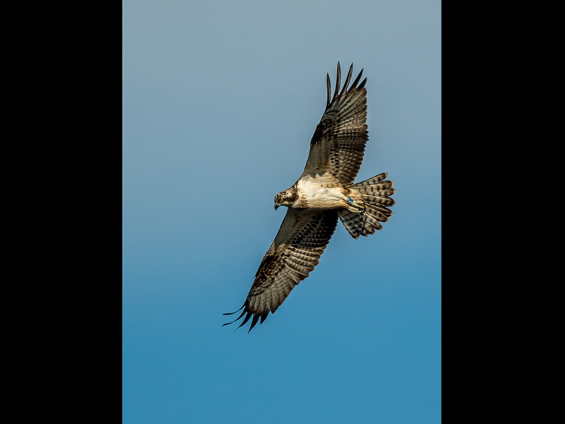 COM Ogston Osprey by Neil Douglas