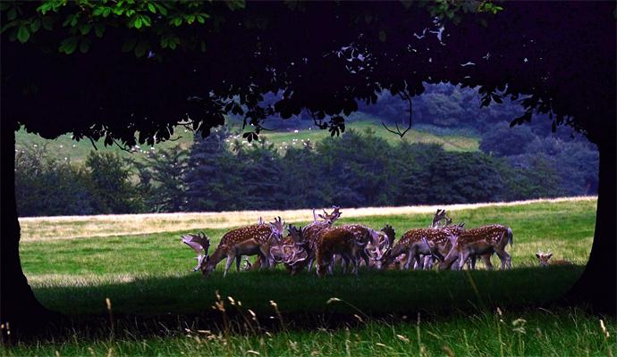 Chatsworth Herd