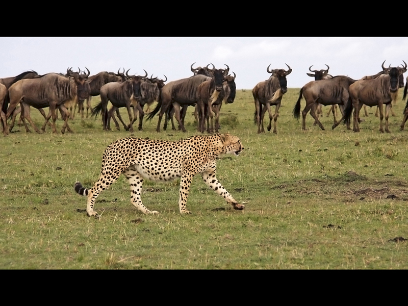 Cheetah watched by Wilderbeast by Sue Wilson