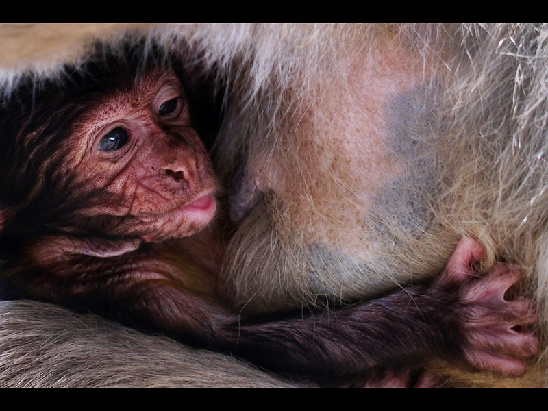 Com Baby Barbary Macaque by Diane Spencer