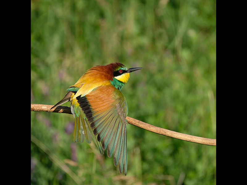 Com Bee eater stretching by Peter Jones