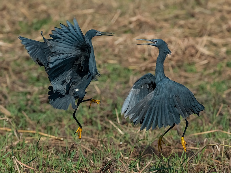Com Black Herons Fighting by Ron Trevis