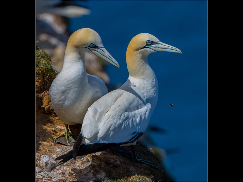 Com Gannets and Bee at Bempton by Michael Poole
