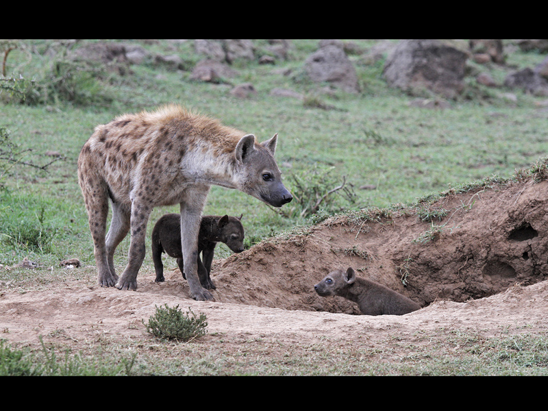 Com Hyena with cubs by Sue Wilson