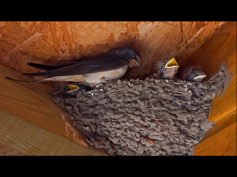 Com Swallow at nest by Sheila Rayson