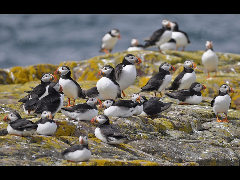 Com Young Puffins wait for Food by John Wilkinson