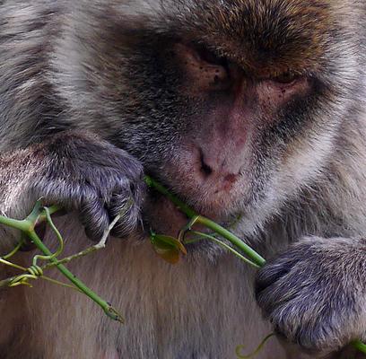 Gibraltan Barbary Ape