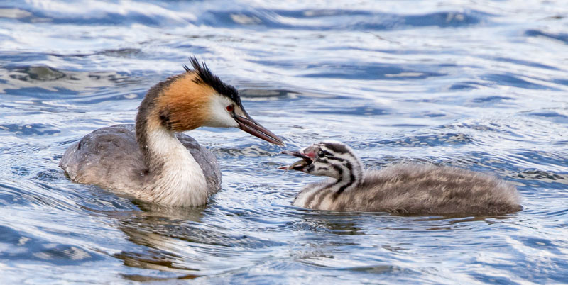 Great crested grebe chick afternoon tea