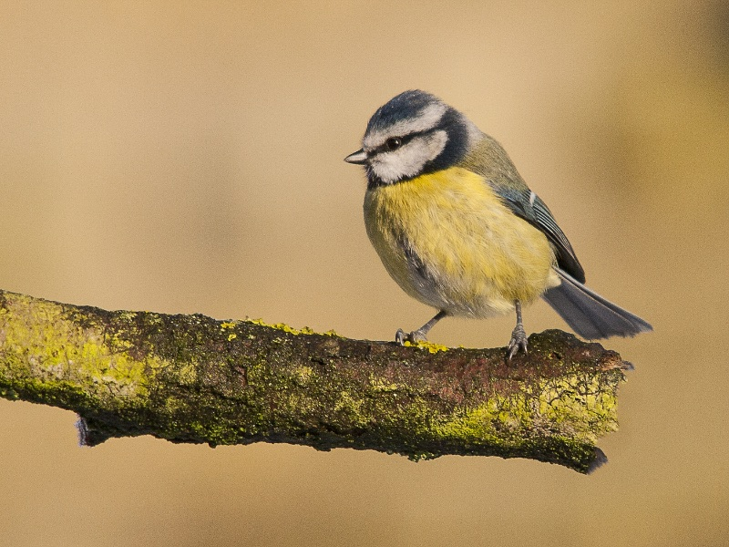HC Blue Tit by RonTrevis