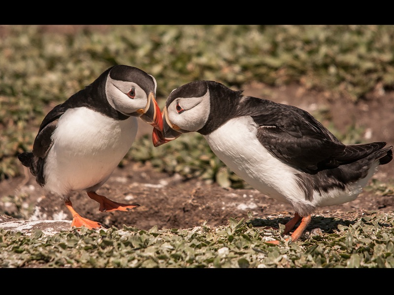 HC Puffins Bonding by Ron Trevis