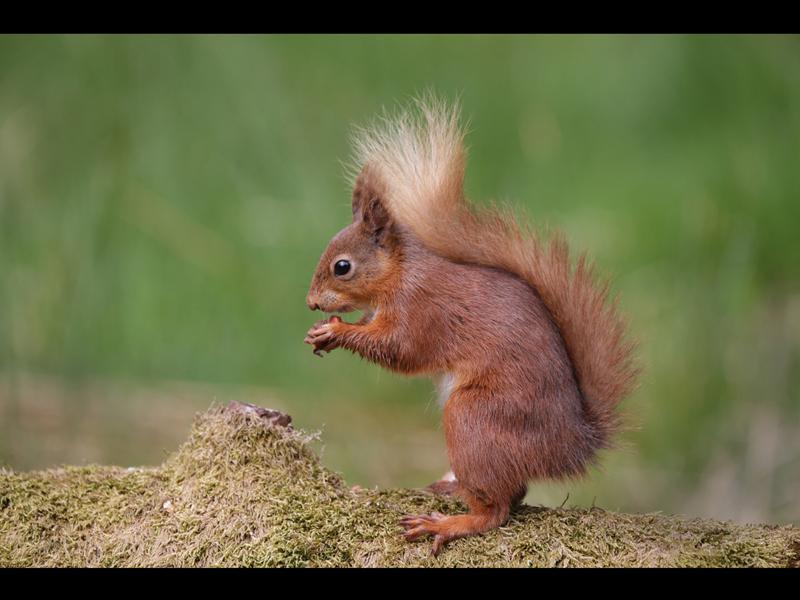 HC Red Squirrel by PeterJones