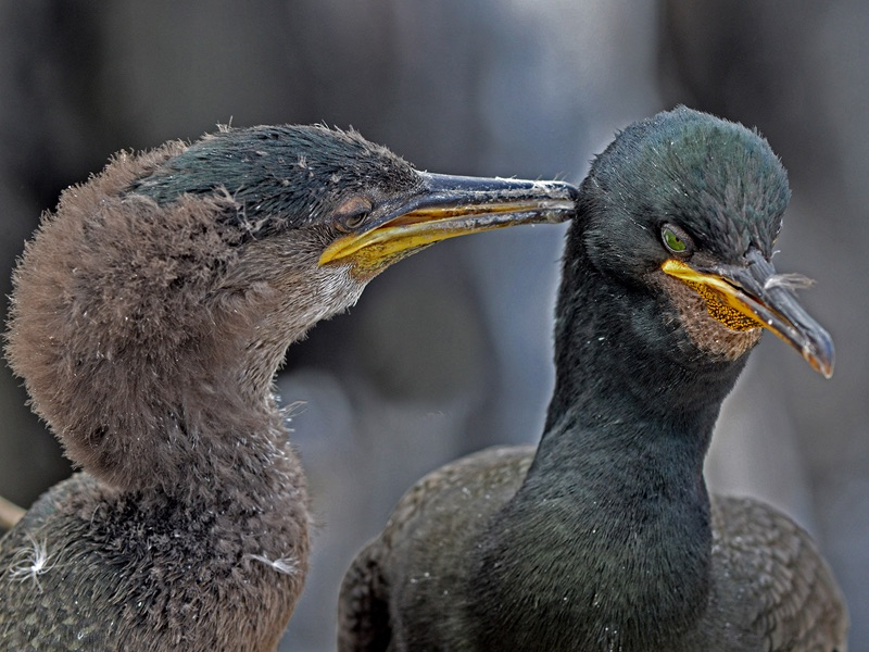 HC Shag Mother and Young by Roy Millett