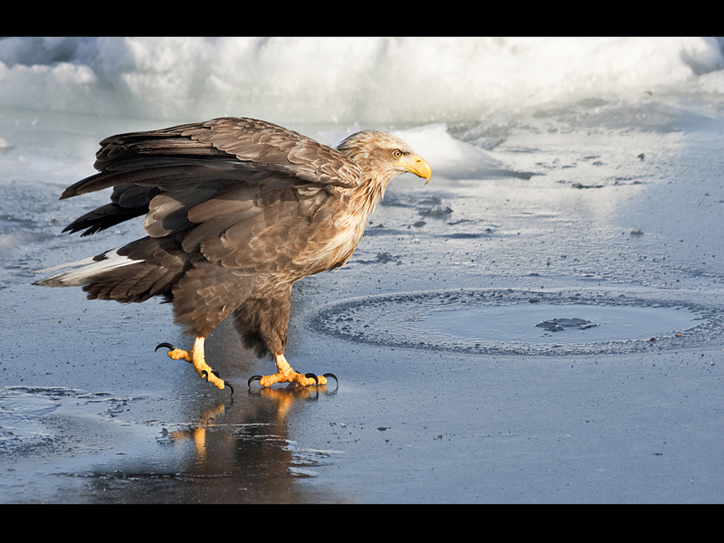 HC White Tailed Eagle Ice Walking by Sue Wilson