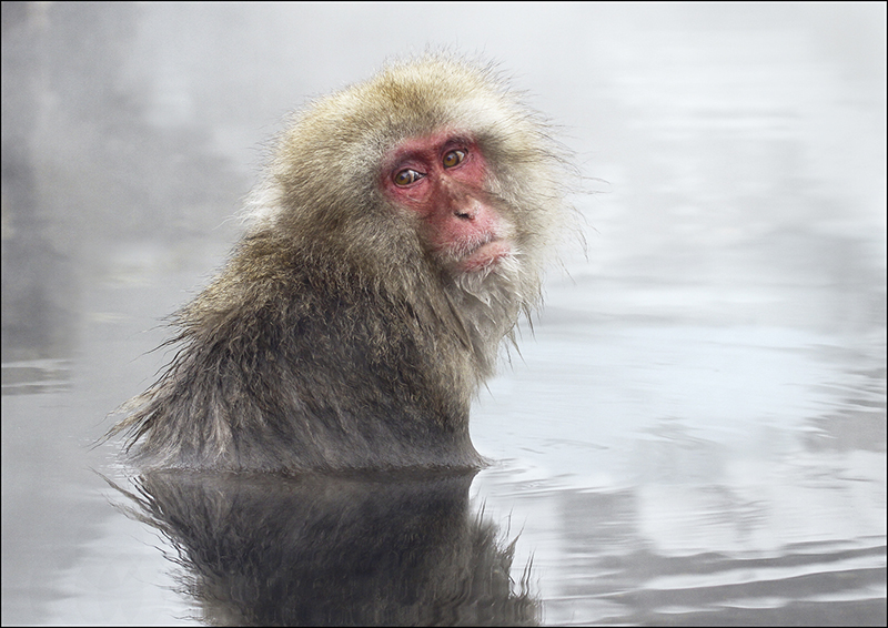 Japanese Macaque in pool