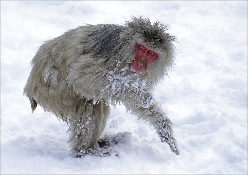 Macaque in snow