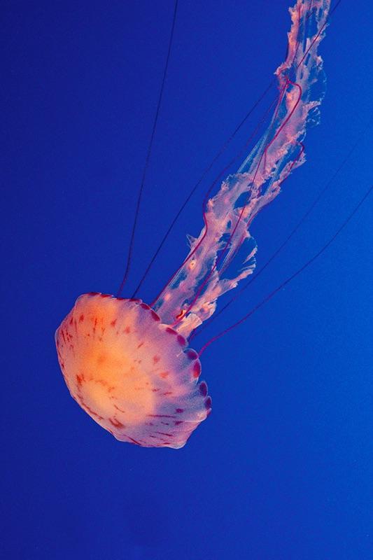 Sea Nettle Jelly