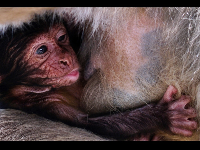 TOP Baby Barbary Macaque by Diane Spencer