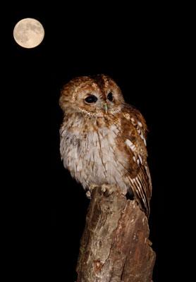 Tawny Owl by Peter Jones ARPS DPAGB