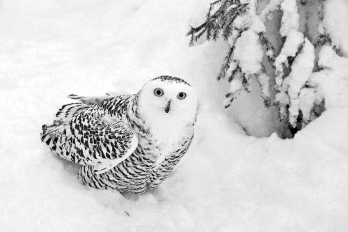Snowy Owl Female by Peter Jones ARPS DPAGB